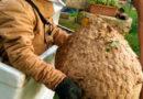 Retiran un nido de avispa velutina de casi 20 kilos del culo de un concejal