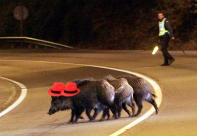 La Policía Local sorprende a varias manadas de jabalíes saliendo de fiesta en pleno toque de queda