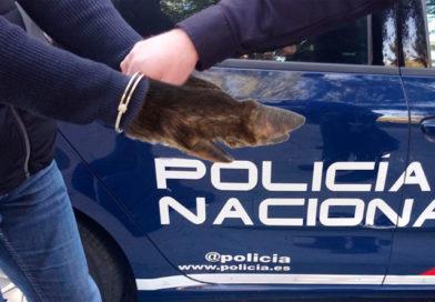 La policía detiene a un jabalí como único responsable del destrozo de la carretera entre Vilaxuste y Portomarín